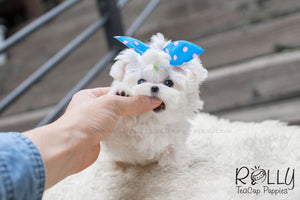 Jessie - Maltese - Rolly Teacup Puppies - Rolly Pups