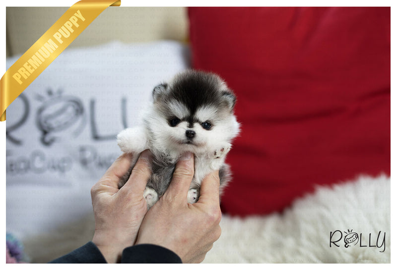 (Purchased by El-Nashar) Ricky - Pomsky. M - Rolly Teacup Puppies