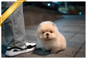 (Purchased by Lee) Ricotta - Chow Chow. F - Rolly Teacup Puppies
