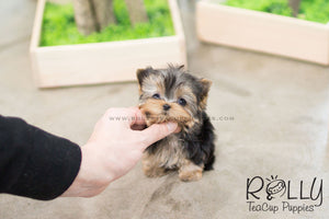 (SOLD to Nowroozi) Riley - Yorkshire Terrior. M - Rolly Teacup Puppies