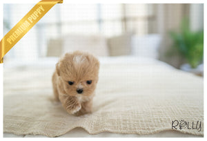 (RESERVED by Webb) RINGO - Maltipoo. M - ROLLY PUPS INC