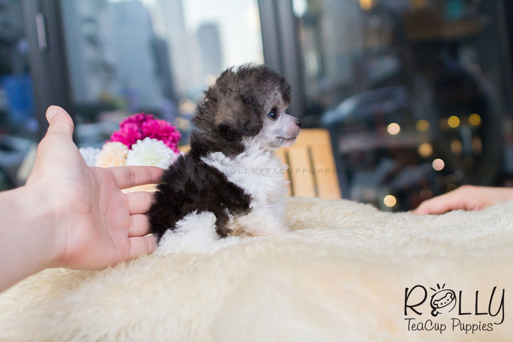 Rita - Toy Poodle - Rolly Teacup Puppies - Rolly Pups
