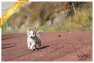 (Purchased by James) River - Pomsky. F - Rolly Teacup Puppies - Rolly Pups