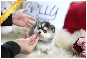 (Purchased by Lindahl) Rocky - Pomsky. M - Rolly Teacup Puppies - Rolly Pups