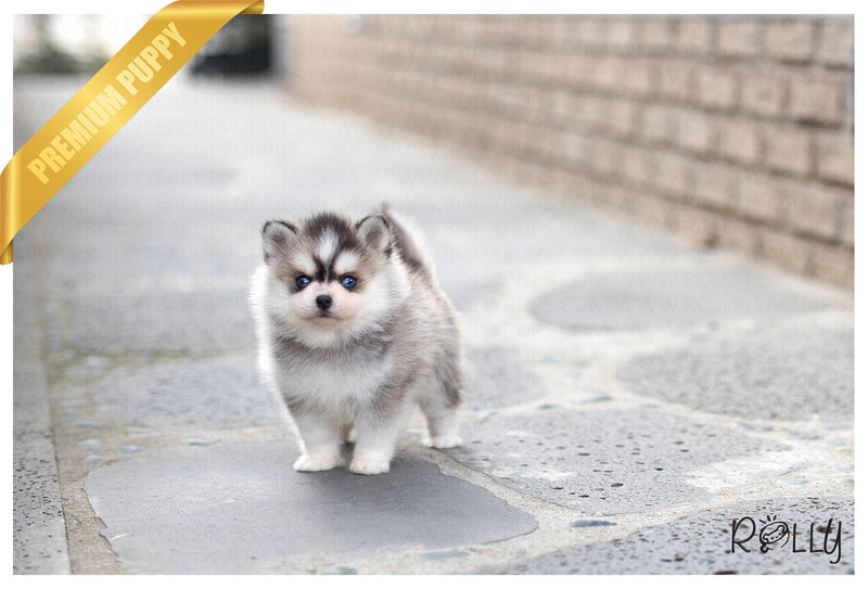 (Purchased by Lindahl) Rocky - Pomsky. M - Rolly Teacup Puppies