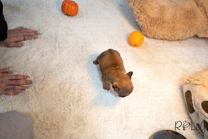 (Purchased by Westfahl) Rocky - French. M - ROLLY PUPS INC