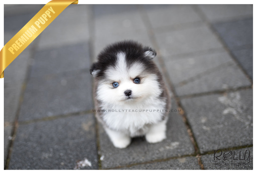 (SOLD to Cervantes)Rocky - Pomsky. M - Rolly Teacup Puppies