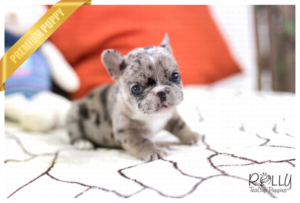 (SOLD to Chen) Rolly - French. F - Rolly Teacup Puppies