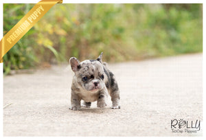 (SOLD to Chen) Rolly - French. F - Rolly Teacup Puppies - Rolly Pups