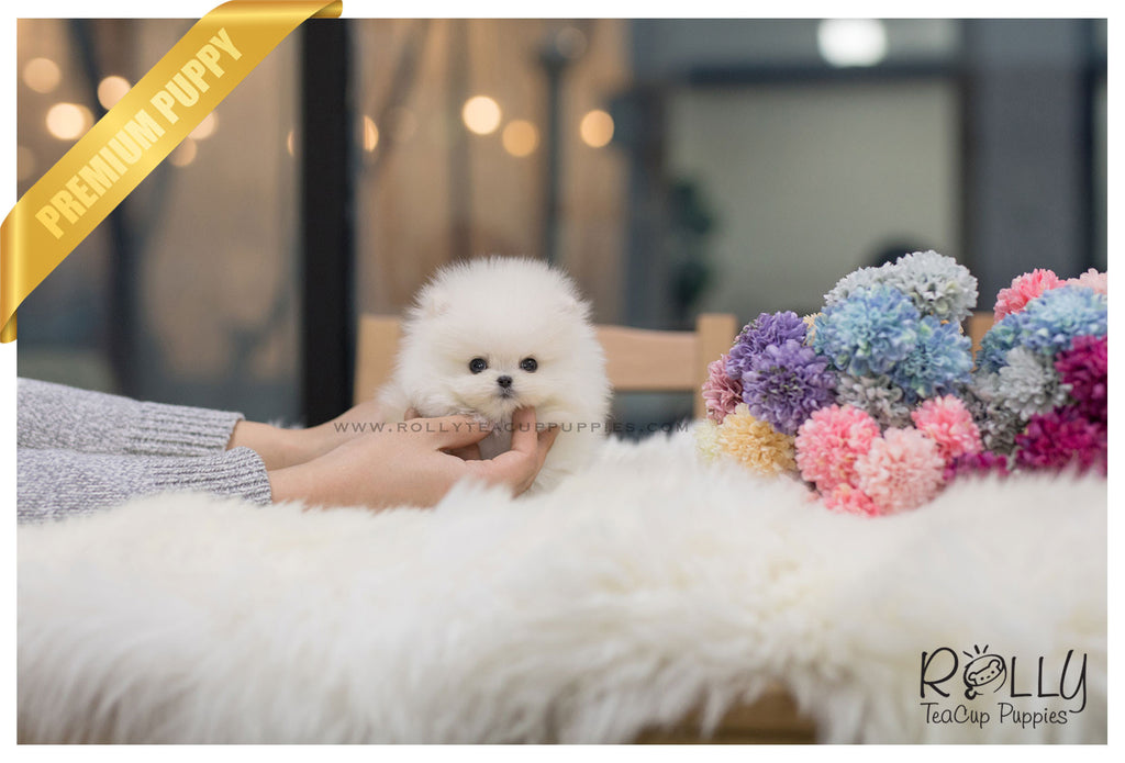 (SOLD to Simmons) Romeo - Pomeranian. M - Rolly Teacup Puppies