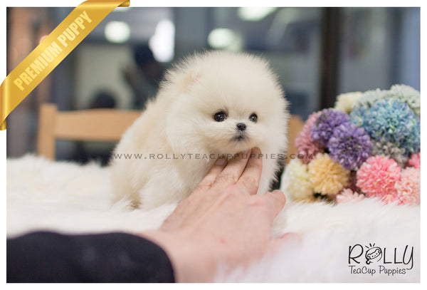 (SOLD to Simmons) Romeo - Pomeranian. M
