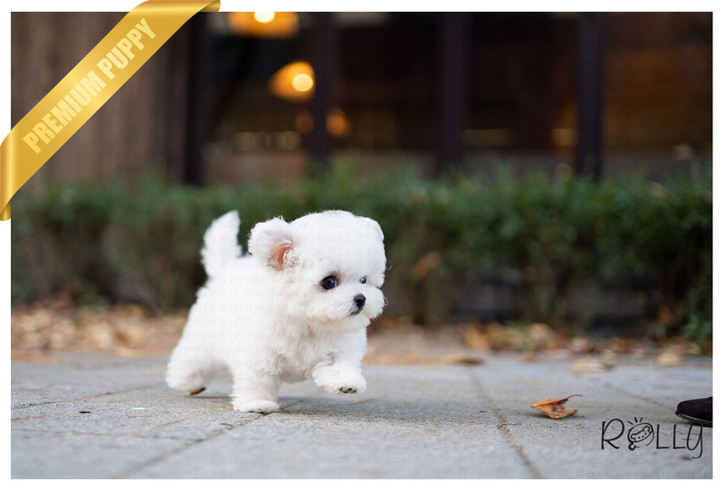 (RESERVED by Akao) ROSE - Bichon. F - Rolly Teacup Puppies - Rolly Pups