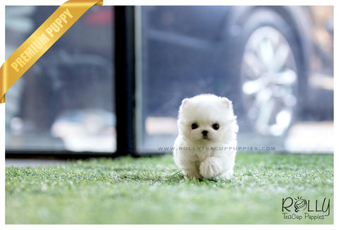 (RESERVED to Roza) Rose - Maltese. F