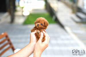 (SOLD to Jill) Rose - Poodle. F - Rolly Teacup Puppies