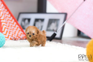 (SOLD to Hunca) Rosie - Poodle. F - Rolly Teacup Puppies - Rolly Pups