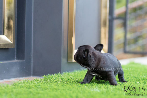 (SOLD to Roy) Roxy - French Bulldog. F - Rolly Teacup Puppies