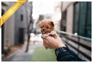 (PURCHASED by Ratner) Rubble - Poodle. M - Rolly Teacup Puppies