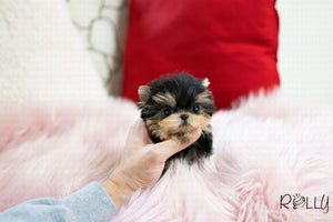 (Purchased by Baskett) Ruben - Yorkie. M - Rolly Teacup Puppies