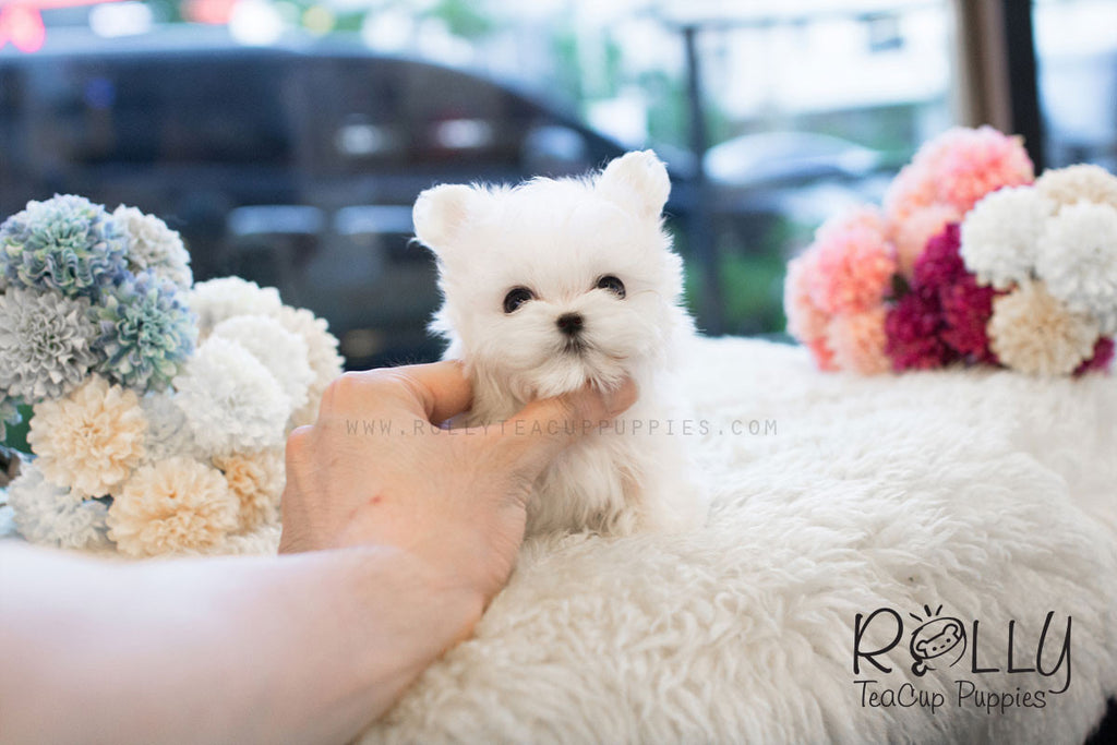Ruby - Maltese - Rolly Teacup Puppies - Rolly Pups