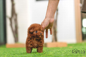 (Purchased by Nguyen) Ruby - Poodle. F - Rolly Teacup Puppies