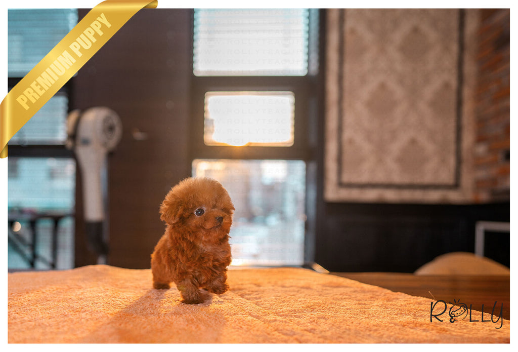 (PURCHASED by Harrison) RUBY - Poodle. F - ROLLY PUPS INC