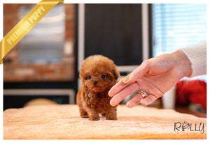 (PURCHASED by Harrison) RUBY - Poodle. F - Rolly Teacup Puppies - Rolly Pups