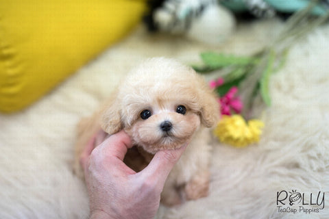 (Purchased by Vargas)Rudy - Maltipoo. M - Rolly Teacup Puppies