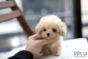 (Purchased by Vargas) Rudy - Maltipoo. M - Rolly Teacup Puppies