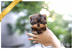 (Purchased by Duke) Ryder - Yorkie. M - Rolly Teacup Puppies