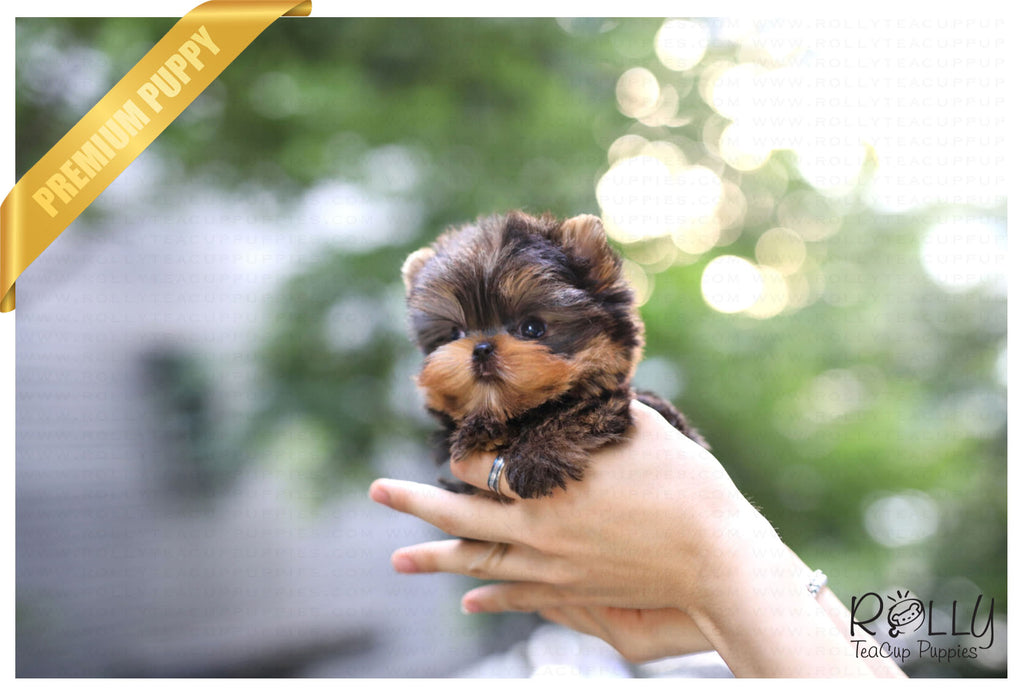 (Purchased by Duke) Ryder - Yorkie. M - ROLLY PUPS INC