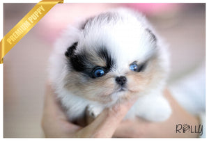 (Purchased by Grigore) Sapphire - Pomeranian. F - Rolly Teacup Puppies