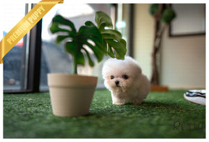 (Purchased by Baxely) Sugar Cane - Poodle. M - Rolly Teacup Puppies - Rolly Pups