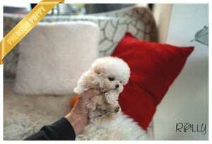(Purchased by Baxely) Sugar Cane - Poodle. M - Rolly Teacup Puppies