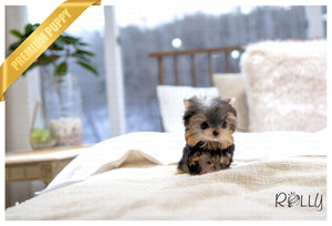(RESERVED by Johnson) SKY - Yorkie. M - ROLLY PUPS INC
