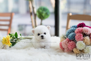 (SOLD to Thompson) Snow White - Bichon Frise. F - Rolly Teacup Puppies - Rolly Pups