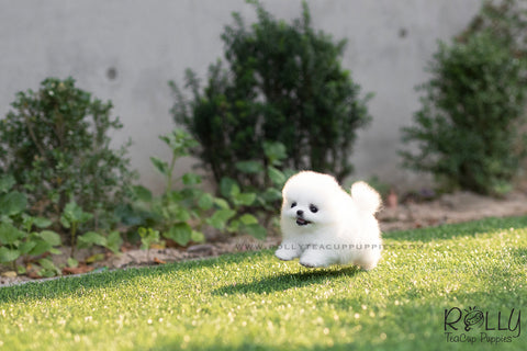 (SOLD to Nguyen) Snow White - Pomeranian. F