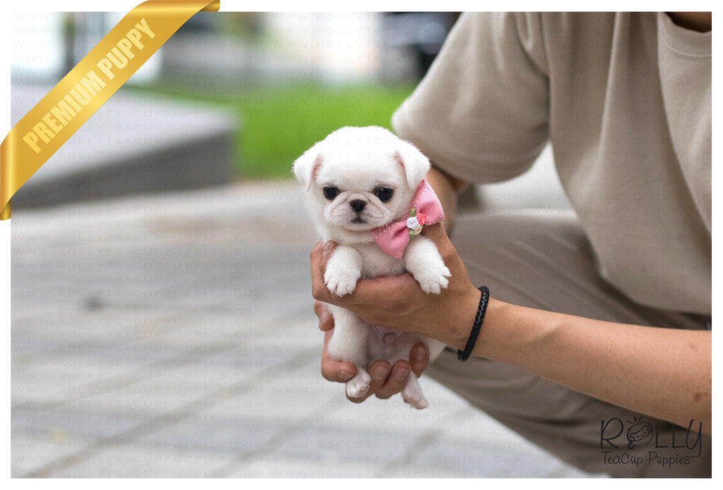 Products Tagged Pug Rolly Teacup Puppies