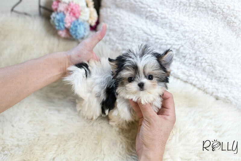 (Puchased by Natasha) Sadie - Morkie. F - Rolly Teacup Puppies