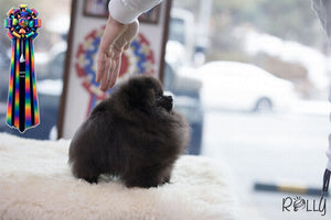 (PURCHASED by Waring) Sadie - Pomeranian. F - Rolly Teacup Puppies