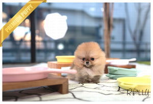 (PURCHASED by Acheson) SADIE - Pomeranian. F - Rolly Teacup Puppies - Rolly Pups
