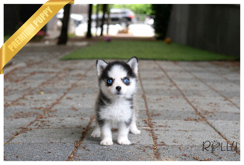 (Purchased by Felix) SADIE - Pomsky. F - Rolly Teacup Puppies