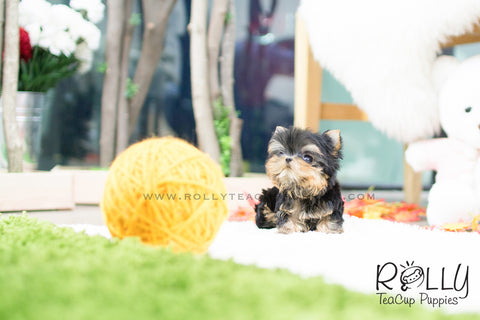(RESERVED to Choe) Sadie - Yorkshire Terrier. F