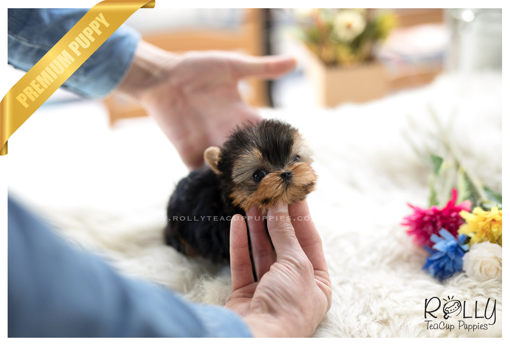 SOLD to Young) Sadie - Yorkie  F– Rolly Teacup Puppies