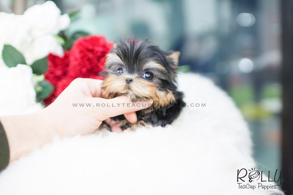 (SOLD to Choe) Sadie - Yorkshire Terrier. F