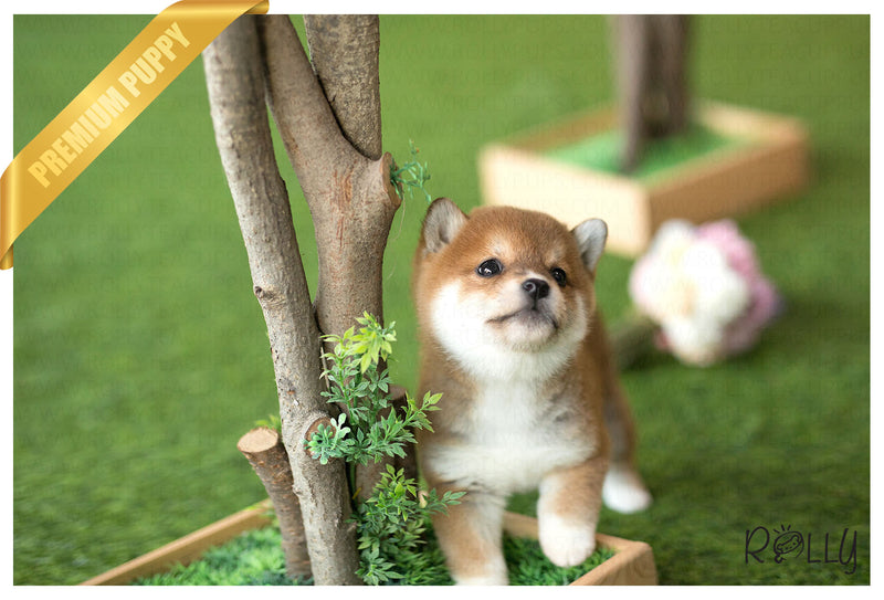 (Purchased by Nalbandian) Sakura - Shiba Inu. F - Rolly Teacup Puppies