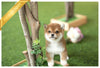 (Purchased by Nalbandian) Sakura - Shiba Inu. F - Rolly Teacup Puppies - Rolly Pups