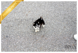(Purchased by Rique) Sammy - Pomsky. M - Rolly Teacup Puppies