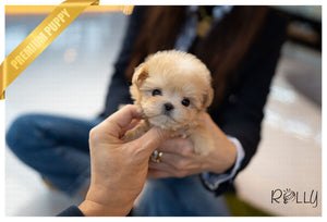 (PURCHASED by Cartagena) SCONE - Maltipoo. F - Rolly Teacup Puppies - Rolly Pups