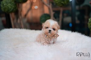 (Purchased by Sirer) Scone - Maltipoo. M - Rolly Teacup Puppies - Rolly Pups