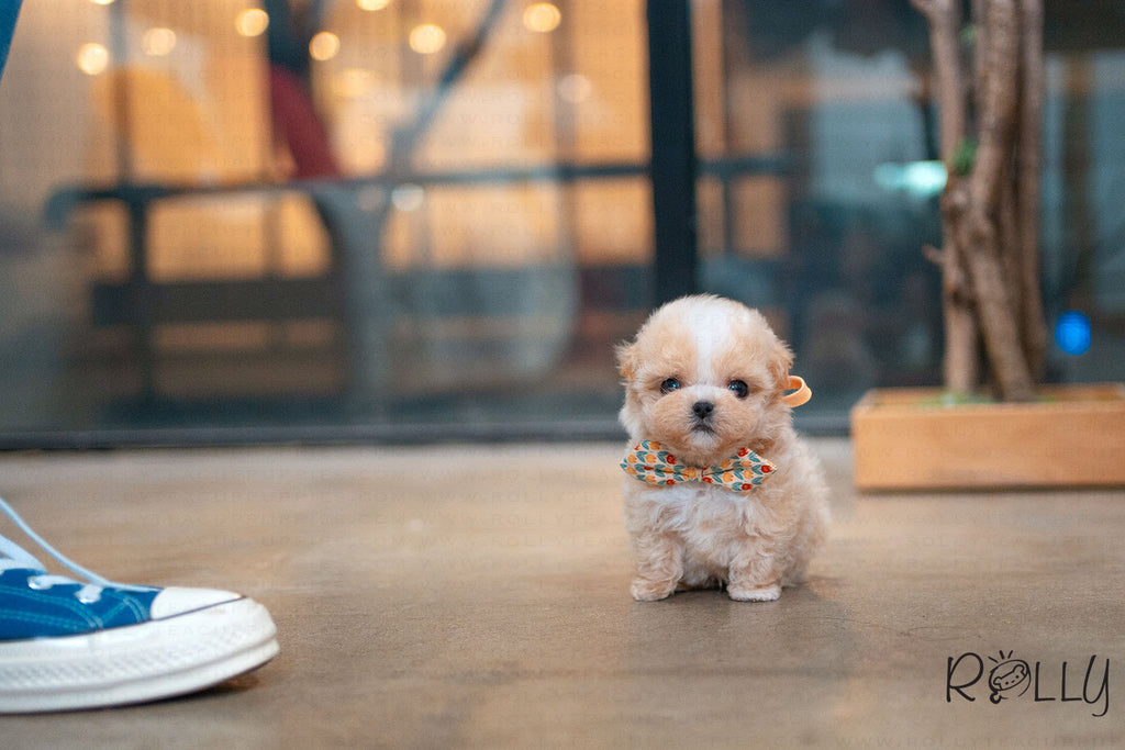 Scone - Maltipoo. M - Rolly Teacup Puppies